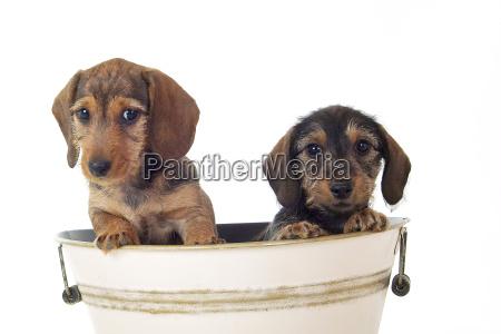 filhotes de cachorro do dachshund