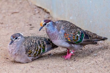 passaro pombo common bronzewing