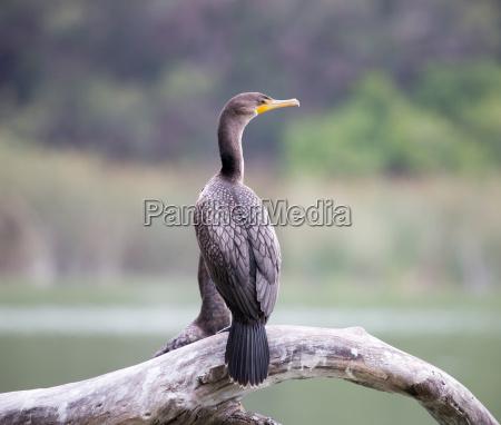 cormorant duplo com crista auritus de