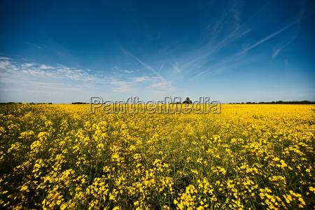 field of rape flowers