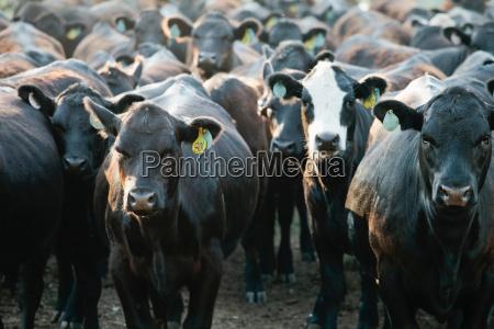 rebanho das vacas que desgastam tag