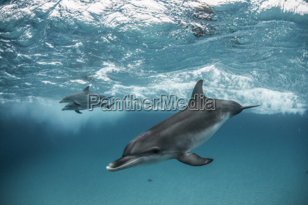 three atlantic spotted dolphins stenella frontalis