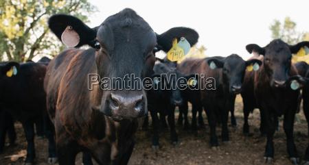 close up animal curiosidade agricultura negro
