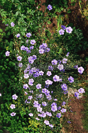 perennnial flax flowers