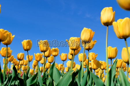 a field of yellow tulips