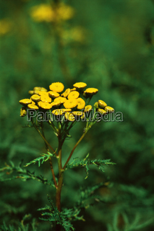 variegated tansy flowers