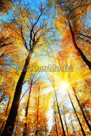 forest in autumn the yellow treetops