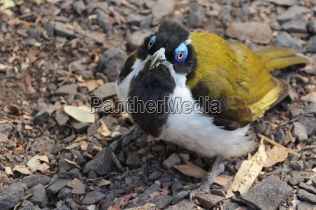 the view of blue ear honeyeater