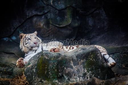 parque animal selvagem gato tigre jardim