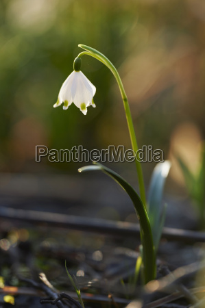 close up of spring snowflake leucojum