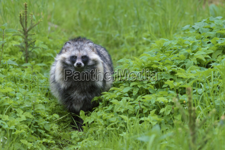 portrait of raccoon dog nyctereutes procyonoides