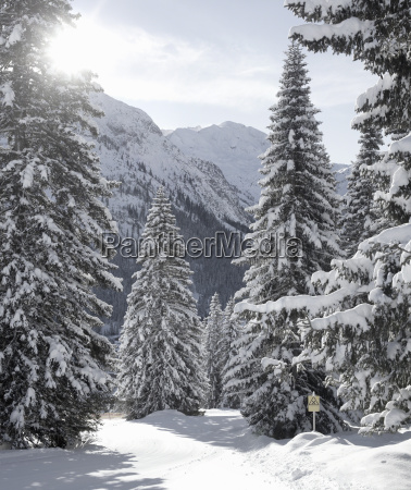 snow covered fir trees lech austria