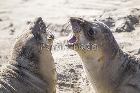 adolescent northern elephant seals mirounga angustirostris