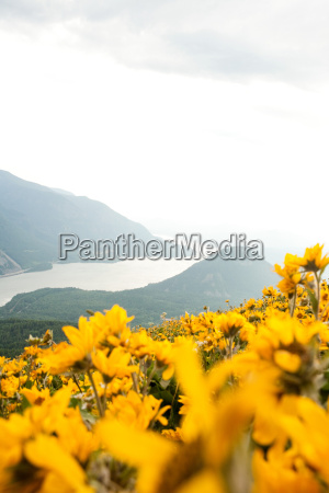 yellow flowers with hill scene