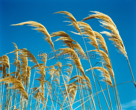 yellow grasses against blue sky