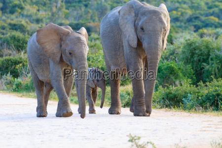 familia dos elefantes de africa do