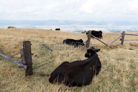 marrom animais agricultura campo chifre pose
