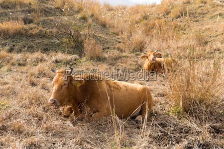 fazenda de vacas