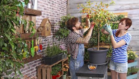 kumquats da colheita dos pares em