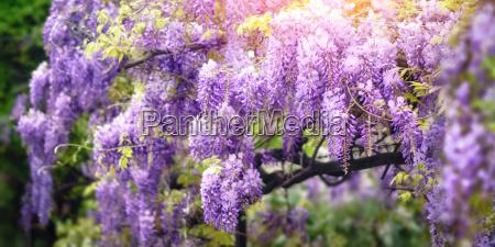wisteria dream in purple