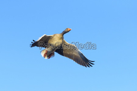 low angle view of greylag goose