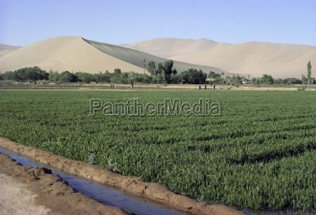 irrigated winter wheat oasis in gobi