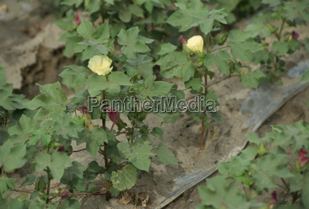 ouro, branco, plantas, de, algodão, xinjiang, china, Ásia - 20596241