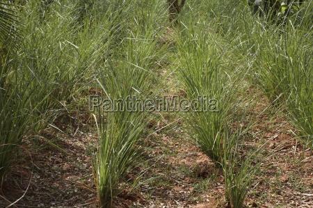 vetiver chrysopogon zizanioides nativa da india