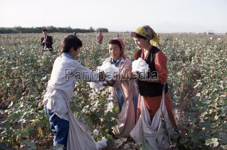 cotton picking ferghana valley uzbekistan central