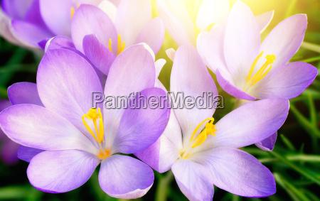 blown purple crocus flowers in