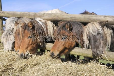 close up cavalo animais europa cavalos