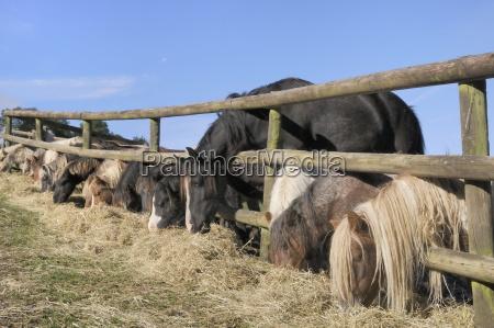 cavalo animais europa cavalos horizontalmente ao
