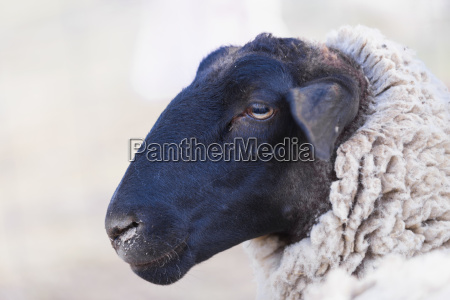 usa texas black headed dorper sheep
