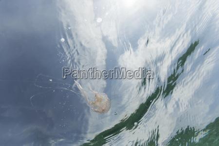 espanha mallorca mediterraneo malva stinger