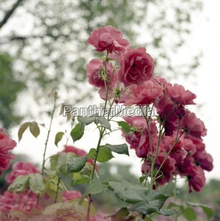 folha jardim flor rosa planta lindas