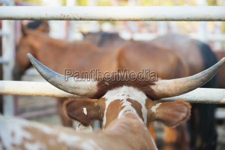 usa texas close up of bull