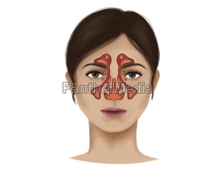 anatomy of nasal sinuses