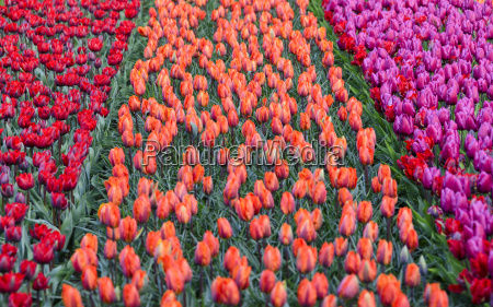 rows of multicolored tulips in bloom