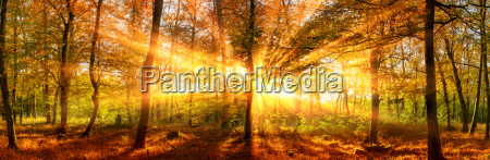 autumn landscape panorama forest with golden