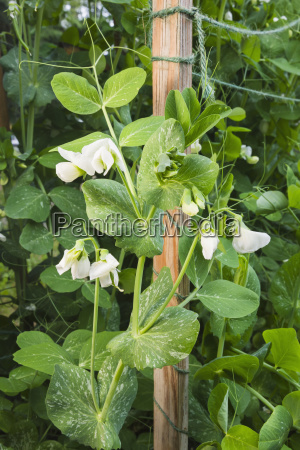 detalhe organiclly grown snap peas out