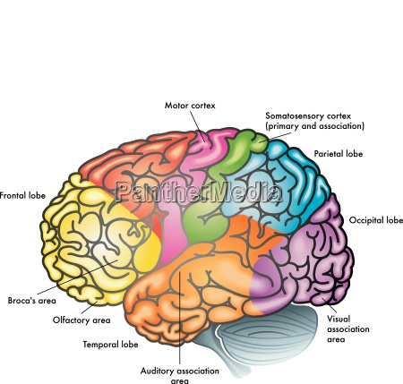cerebro areas of the brain brain