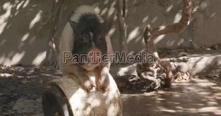alimento agricola enorme animal mamifero masculino