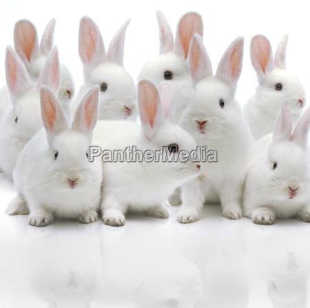 diversos coelhos brancos