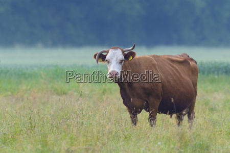 portrait of cow standing in meadow