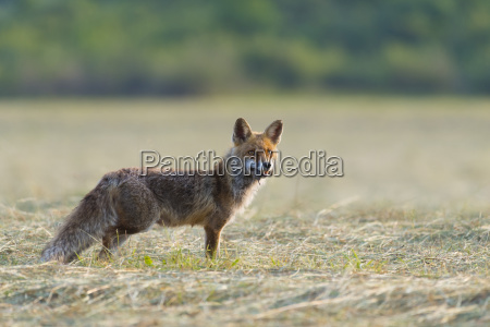 red fox vulpes vulpes with mouse