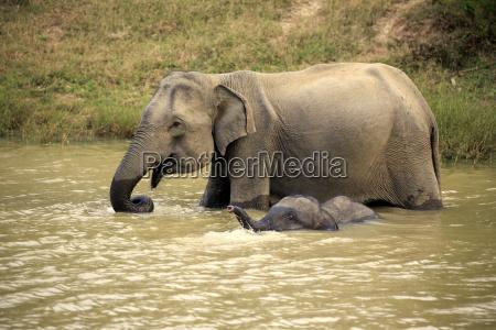 asiatischerelefants18995 jpg