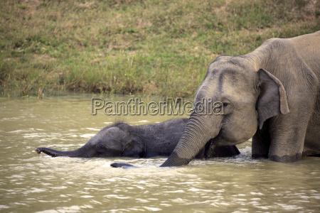 asiatischerelefants18987jpg