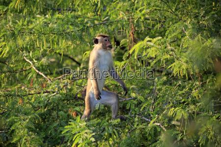 ceylon hutaffe macaca sinica adulto escala