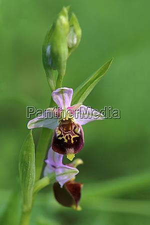 hummel ragwurz ophrys holoserica do liliental