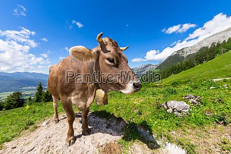 vaca marrom na paisagem da montanha